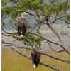 Thumbnail white tailed eagles 3rd september 2014 a