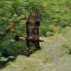 Thumbnail golden eagle 2nd september 2014