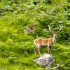 Thumbnail red deer stag 1st august 2014