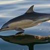 Thumbnail dolphin