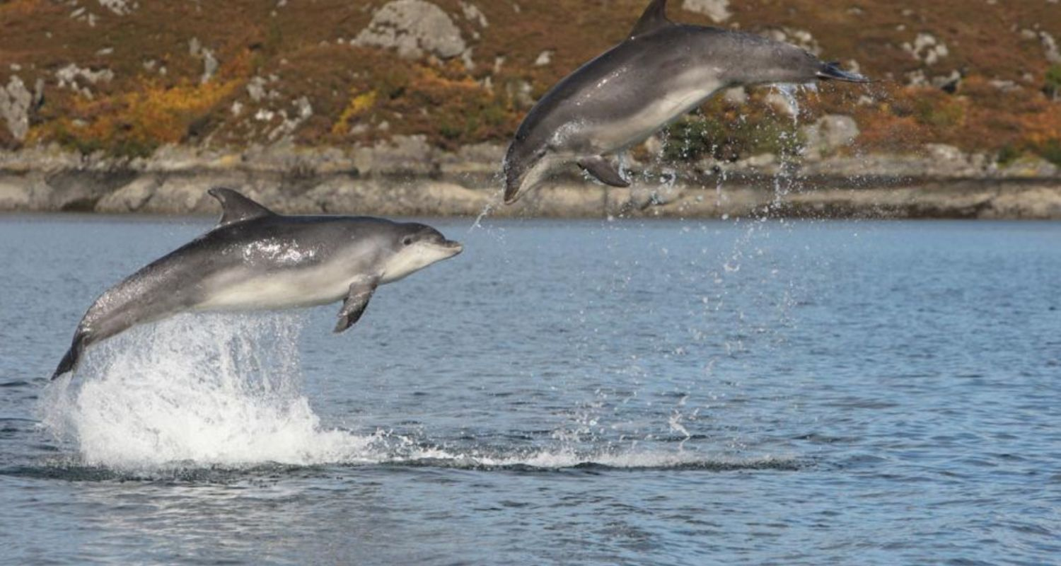 Dolphins or porpoise ?
