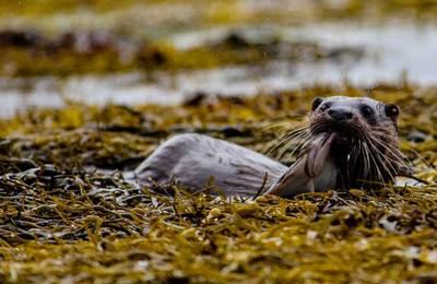 An otter on Loch Ailort