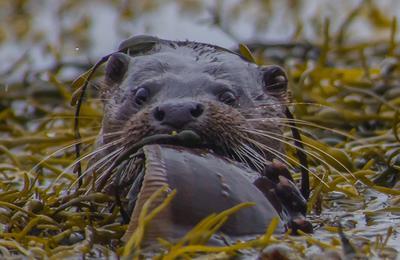 Medium otter 2 1