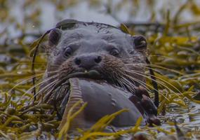 Otter enjoying a snack..