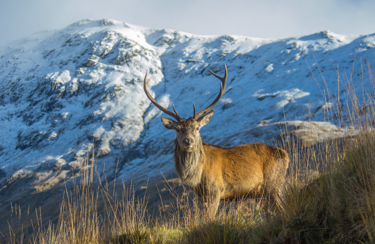 Feature the red deer  one of scotland s big five is the uk s largest land mammal