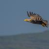 Thumbnail sea eagle numbers are increasing and the birds are regularly sighted