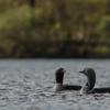 Thumbnail black throated divers on loch eilde